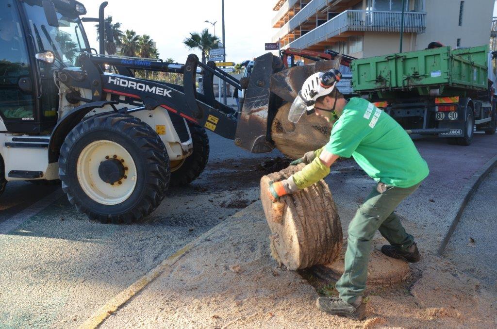 Palmiers : la lutte contre le charançon s'intensifie