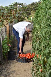 M le Maire a prêté main-forte aux jardiniers lors de la récolte de tomates